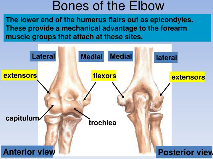 Bones of the Elbow