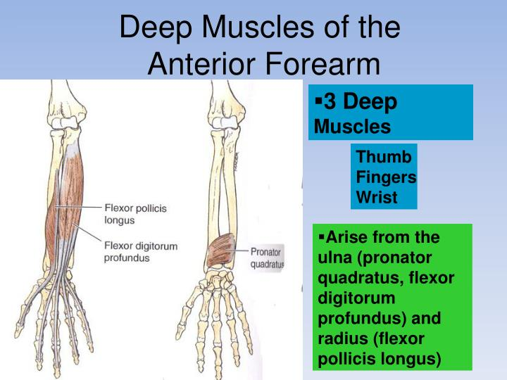 Deep Muscles of the