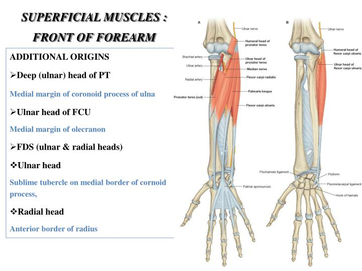 SUPERFICIAL MUSCLES : FRONT OF FOREARM