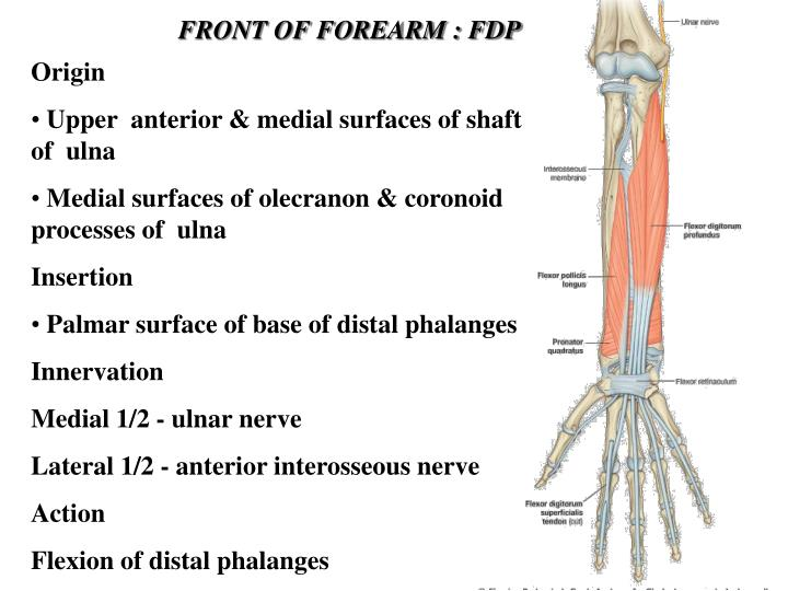 FRONT OF FOREARM : FDP