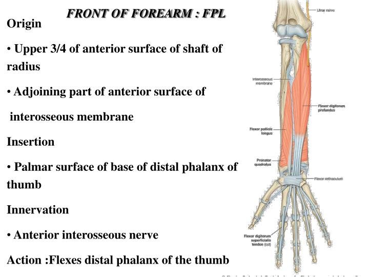 FRONT OF FOREARM : FPL