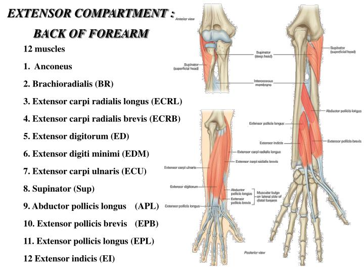 EXTENSOR COMPARTMENT : BACK OF FOREARM
