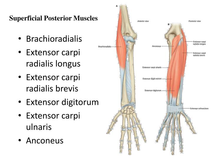 Superficial Posterior Muscles