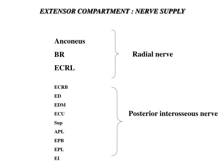 EXTENSOR COMPARTMENT : NERVE SUPPLY