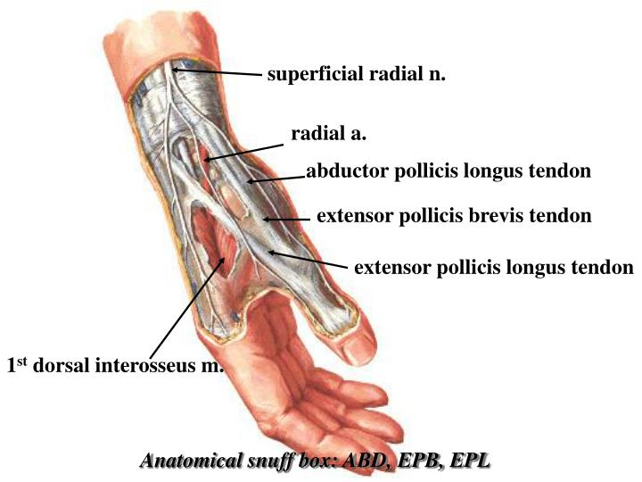superficial radial n.