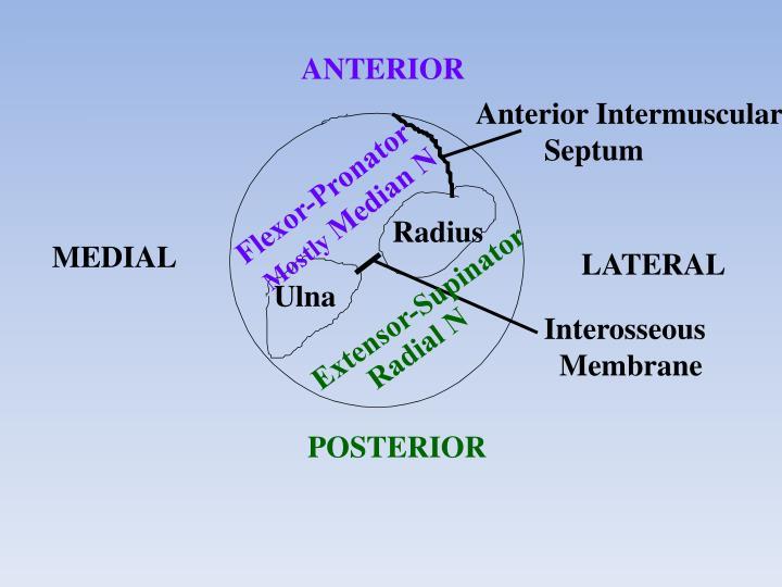 Anterior Intermuscular