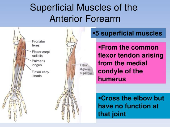 Superficial Muscles of the