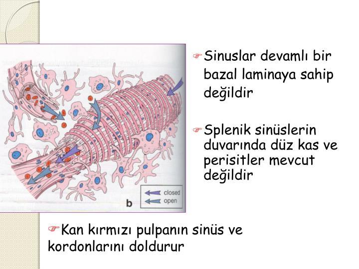 Sinuslar devamlı bir bazal laminaya sahip değildir