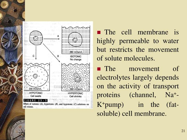 The cell membrane is highly permeable to water but restricts the movement of solute molecules.