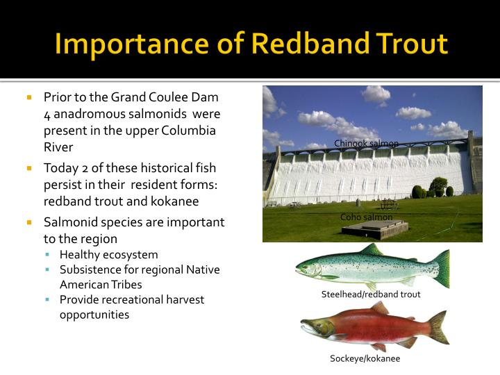 Importance of redband t rout