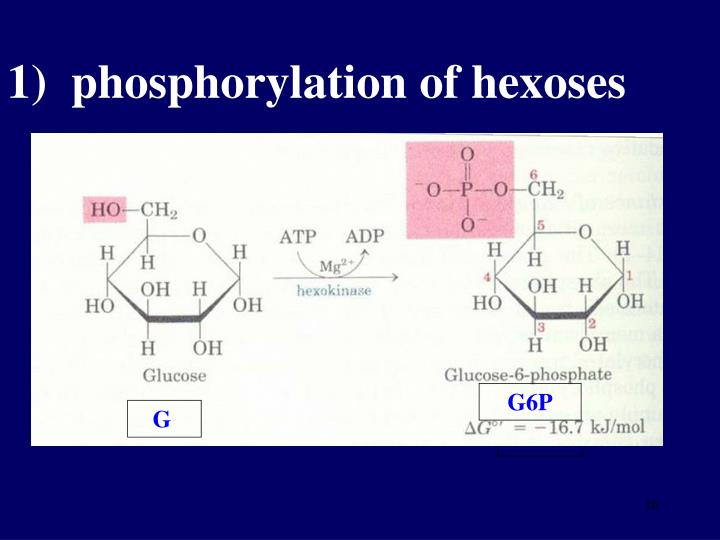 1)  phosphorylation of hexoses