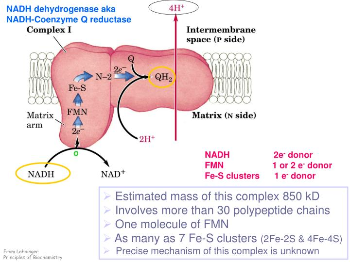 NADH dehydrogenase aka