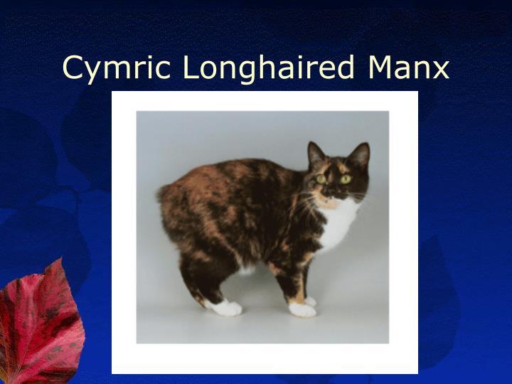 Cymric Longhaired Manx