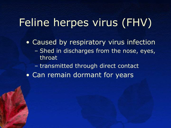 Feline herpes virus (FHV)