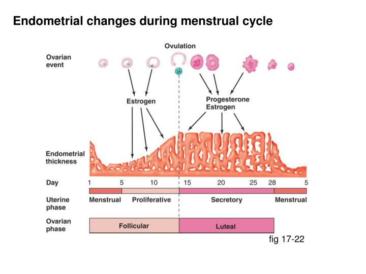 Endometrial changes during menstrual cycle