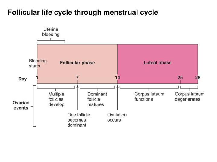 Follicular life cycle through menstrual cycle