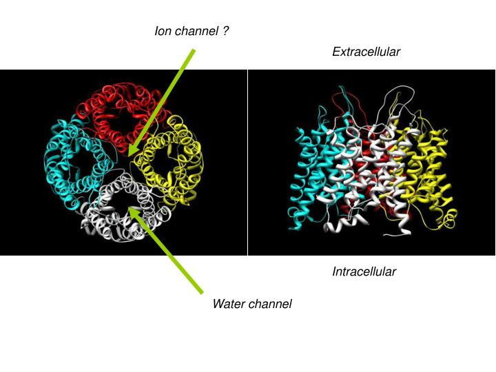 Ion channel ?