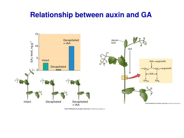 relationship between auxins and cytokinins cannabis