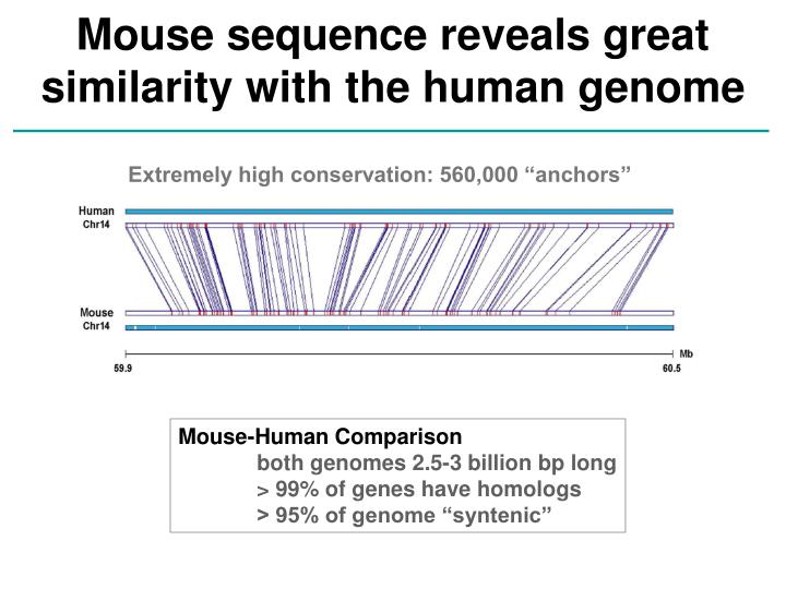 Mouse sequence reveals great similarity with the human genome