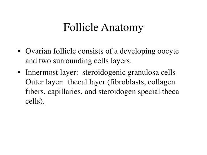 Follicle Anatomy