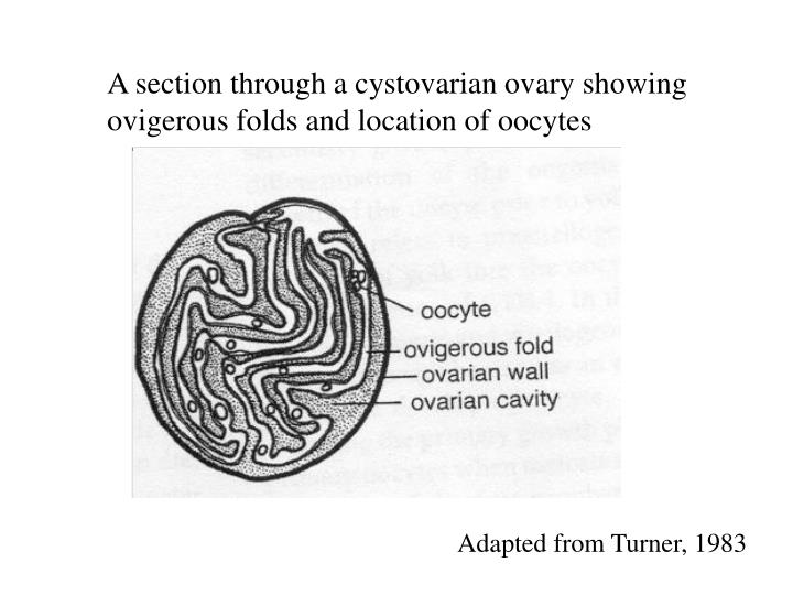 A section through a cystovarian ovary showing ovigerous folds and location of oocytes