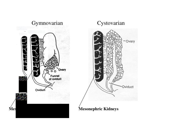 Gymnovarian