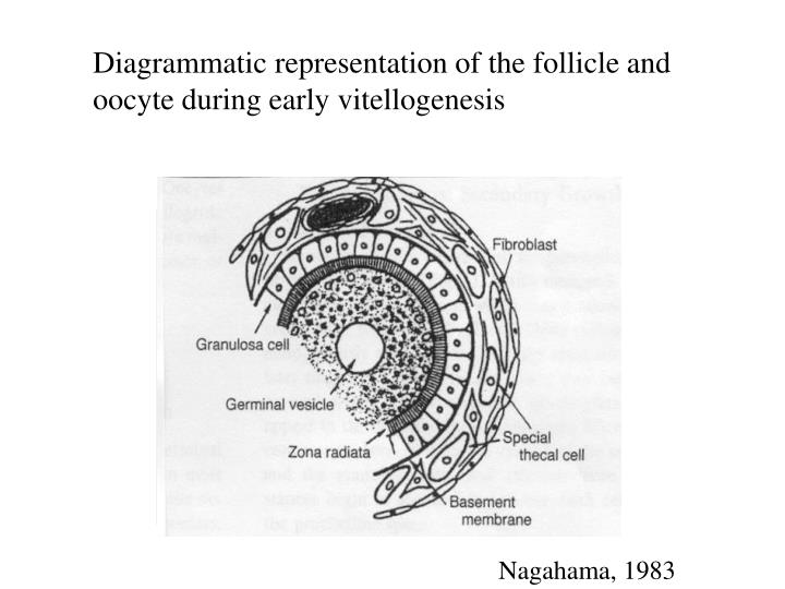 Diagrammatic representation of the follicle and oocyte during early vitellogenesis