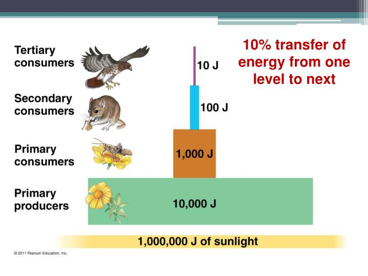 10% transfer of energy from one level to next