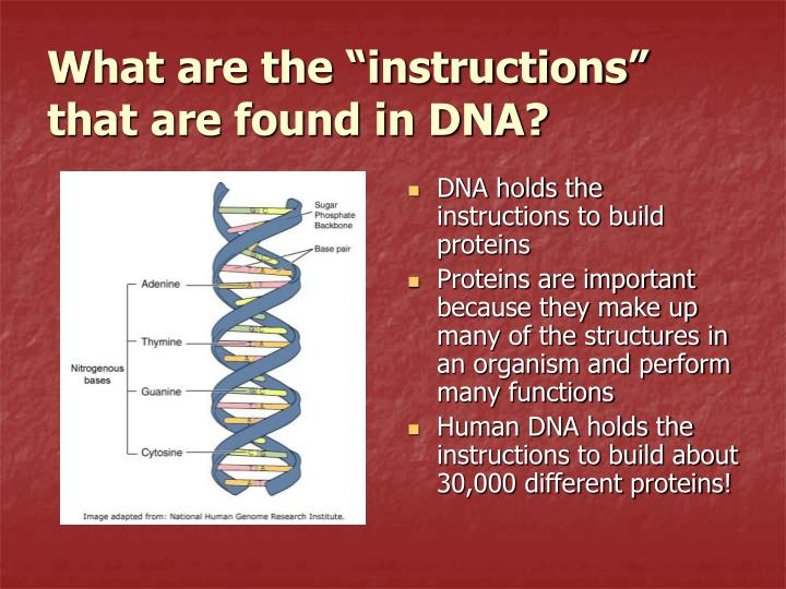 "What are the ""instructions"" that are found in DNA?"