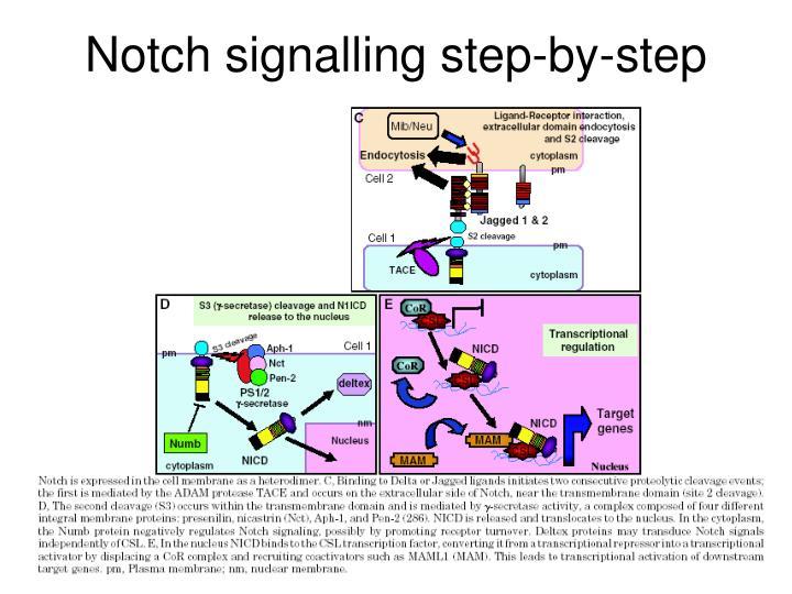 Notch signalling step-by-step