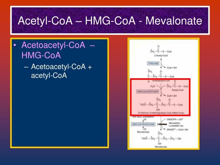 Acetyl-CoA – HMG-CoA - Mevalonate