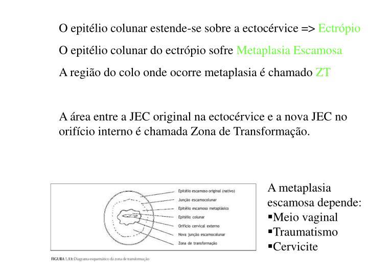 O epitélio colunar estende-se sobre a ectocérvice =>