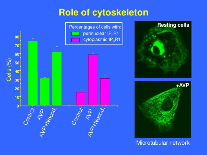 Role of cytoskeleton
