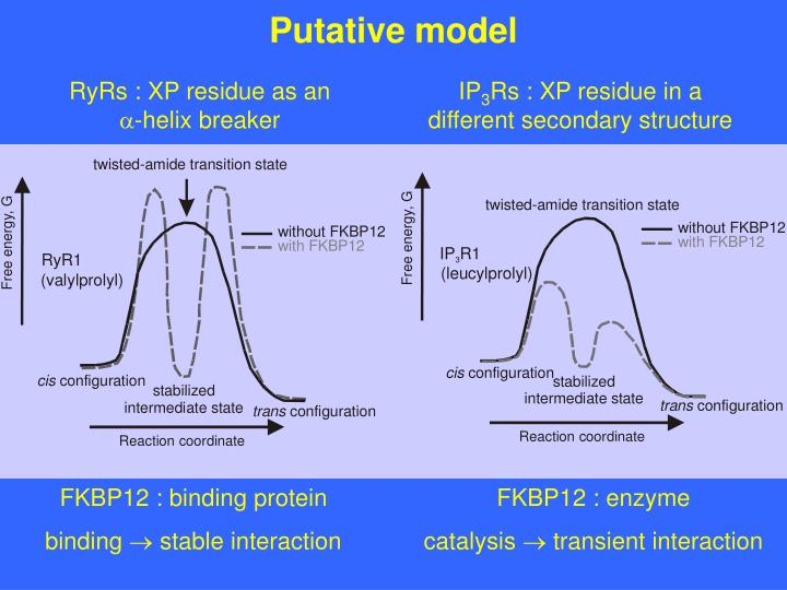 Putative model