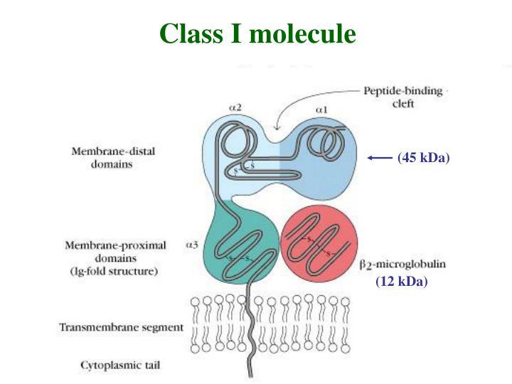 Class I molecule