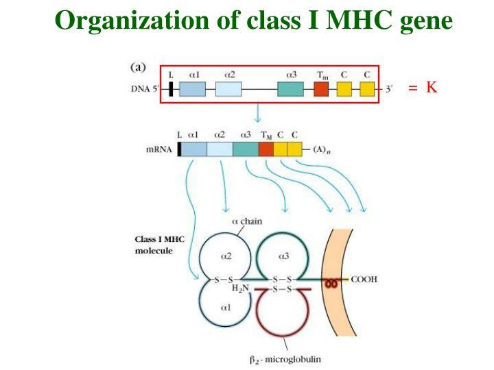 Organization of class I MHC gene
