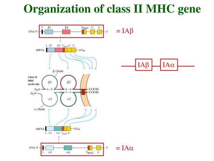 Organization of class II MHC gene