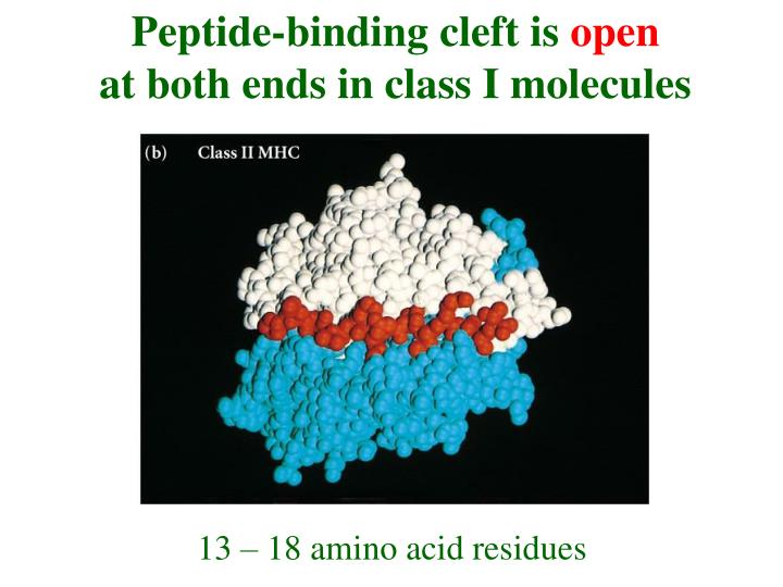 Peptide-binding cleft is