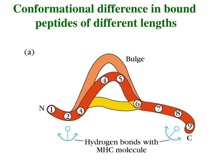 Conformational difference in bound