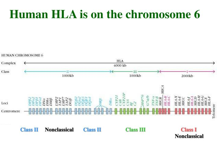 Human HLA is on the chromosome 6