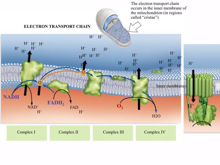 phosphorylation oxydative animation