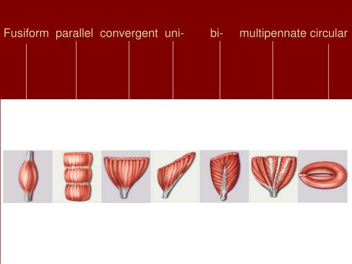 Fusiform  parallel  convergent  uni-        bi-     multipennate circular