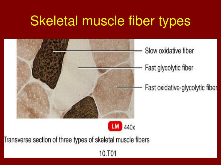 Skeletal muscle fiber types