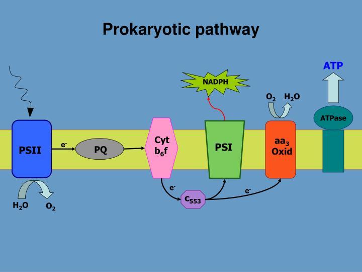 Prokaryotic pathway