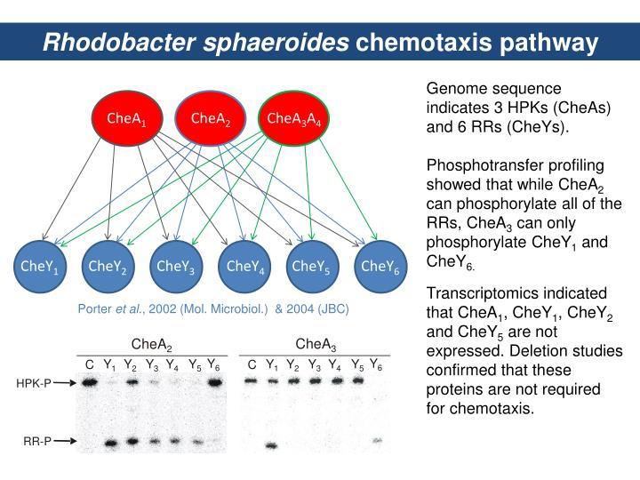 Rhodobacter
