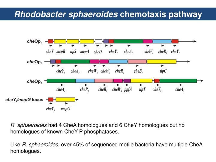 Rhodobacter sphaeroides