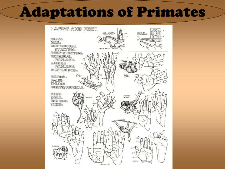 Adaptations of Primates