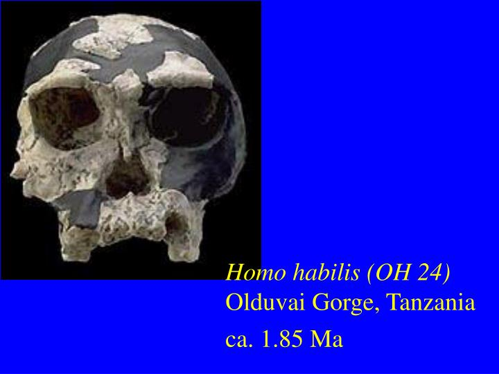 Homo habilis (OH 24)