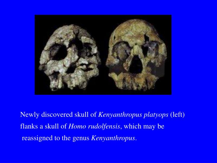 Newly discovered skull of