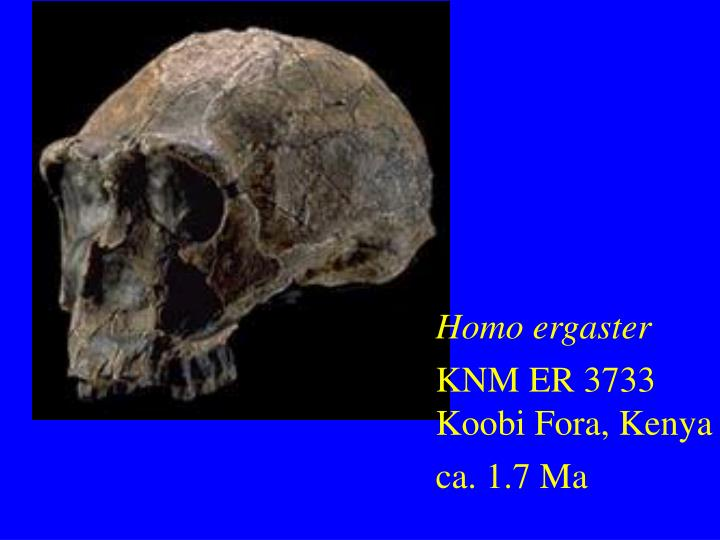 Homo ergaster
